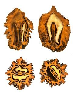 Плод ореха маньчжурского в разрезе