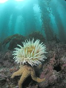Anemone and seastar in kelp forest