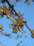Ash flower.JPG