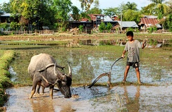 Water buffalo are used for ploughing in Si Phan Don, Laos.