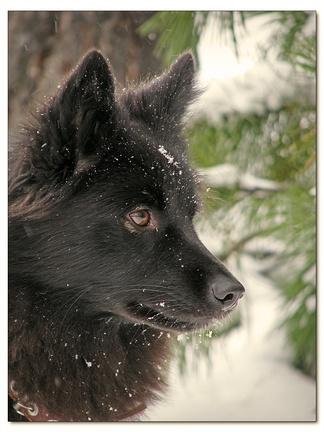Ненецкая лайка (оленегонный шпиц). Родина этой особи— Тазовская тундра.