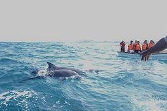 Tourists in boat are chasing dolphins in the Indian Ocean near Zanzibar