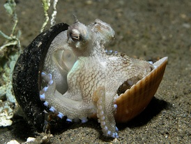 Octopus travelling with shells collected for protection
