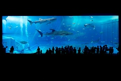 Whale sharks at the Okinawa Churaumi Aquarium, Japan