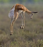 Springbok stotting to signal its ability to escape