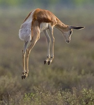 """Behaviour with a purpose"": a young springbok stotting.[11][19] A philosopher of biology might argue that this has the function of signalling to predators, helping the springbok to survive and allowing it to reproduce.[11]"