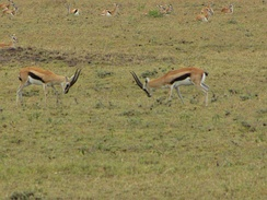 Two male gazelles in an agonistic display with females nearby