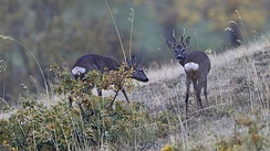 Roe deer, male and female in Segovia, Spain