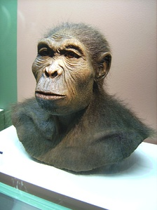Forensic reconstruction of Homo habilis, exhibit in LWL-Museum für Archäologie, Herne, Germany (2007 photograph).[38]