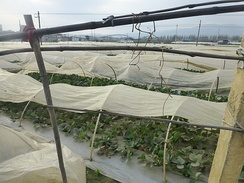 Strawberry fields near Yuxi