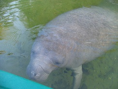 Photo of manatee next to kayak