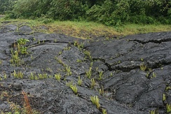 Pioneer species of plant growing in cracks on a solidified recently erupted lava flow in Hawaii