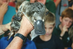 The platypus uses its bill to navigate underwater, detect food, and dig. The bill contains receptors that help detect prey.