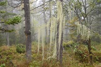 Уснея в Байкальском заповеднике