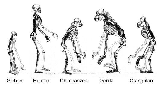 "Skeletons of members of the ape superfamily, Hominoidea. There are two extant families: Hominidae, the ""great apes""; and Hylobatidae, the gibbons, or ""lesser apes""."