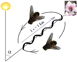 Interpretation of the waggle dance: direction relative to the sun is shown by angle to the vertical; distance by the time taken on the central stretch.