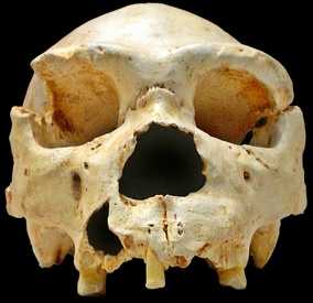 The Homo heidelbergensis Cranium 5, one of the most important discoveries; its nearly complete mandible was only found years later