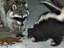 Raccoon and skunk eating cat food in a Hollywood back yard