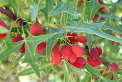 Плоды Berberis trifoliolata