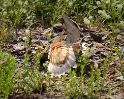 Крикливый зуёк отвлекает хищника от гнезда, притворившись, что у него сломано крыло