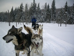 Dogsleds are used for recreational hunting of polar bears in Canada.