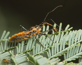 Insect: assassin bug piercing its prey with its rostrum