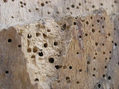 Wood affected with woodworm
