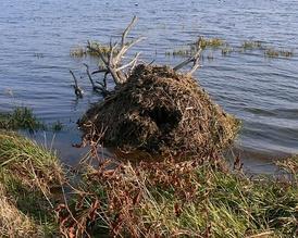 Хатка ондатры