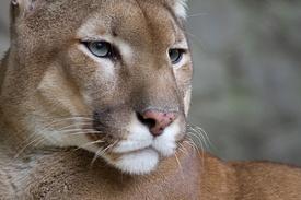Puma face.jpg