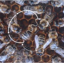 Figure-Eight-Shaped waggle dance of the honeybee (Apis mellifera). A waggle run oriented 45° to the right of 'up' on the vertical comb indicates a food source 45° to the right of the direction of the sun outside the hive. The abdomen of the dancer appears blurred because of the rapid motion from side to side.