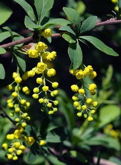 Цветущий Berberis chinensis