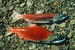 "Pacific salmon are semelparous or ""big bang"" spawners, which means they die shortly after spawning"