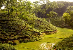 A tea garden in Bangladesh
