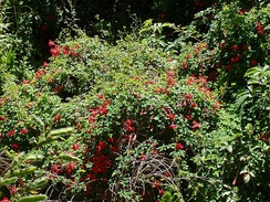 The flame flower (Tropaeolum speciosum), climbs  over other plants to a sunlit position