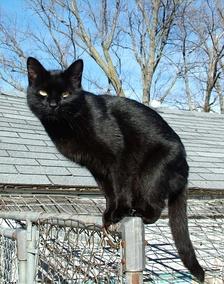 Кошка сплошного чёрного окраса