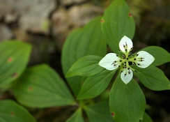 Bunchberry plant