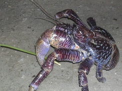 Coconut crabs are protected on Diego Garcia.