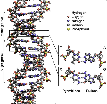 The structure of the DNA double helix. The atoms in the structure are colour-coded by element and the detailed structures of two base pairs are shown in the bottom right.