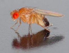 The common fruitfly Drosophila melanogaster is one of the most widely used organisms in biological research.