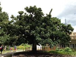 The Federal Oak in the gardens of the Victorian Parliament House in Melbourne. The tree was planted in 1890 by Sir Henry Parkes to commemorate the meeting of the Australian Federal Conference.