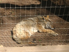 A coyote sleeps in the afternoon heat in the Amarillo Zoo.