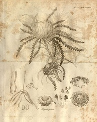 "A plate from Robert Brown's paper ""On the natural order of plants called Proteaceae"" (1810)"