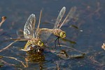 Male Australian Emperor dragonflies use motion camouflage to approach rivals.