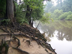 Tree roots at Cliffs of the Neuse State Park