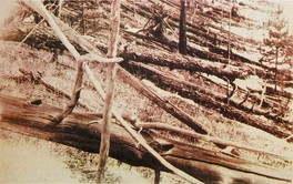 Evidence of the Tunguska event (June 30). Photo taken 19 years later.