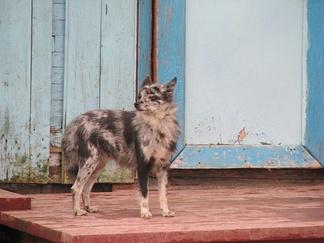 Ненецкая лайка необычного окраса из посёлка Гыда. Особей такого окраса нежелательно использовать в племенном разведении.