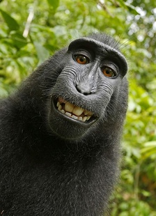 As animal-made art, this monkey selfie is ineligible for copyright in the United States