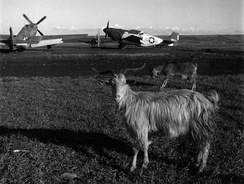 P-51C Mustang fighters from the 332nd Fighter Group at Ramitelli Airfield, with goats (March 1945)