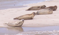 Common seals on Terschelling, a Wadden Sea island