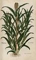 Ботаническая иллюстрация 1543 года